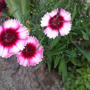 Dairis gerbuvis, vejos irengimas, teritorijos, zeldinimas, augalai